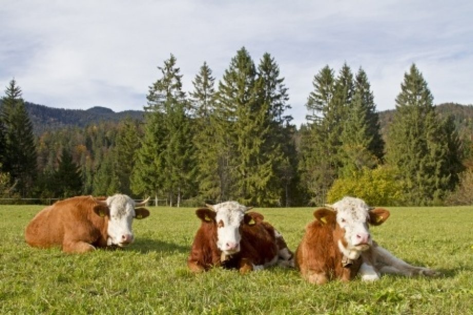 Simental - Sarı Alaca Sığırı