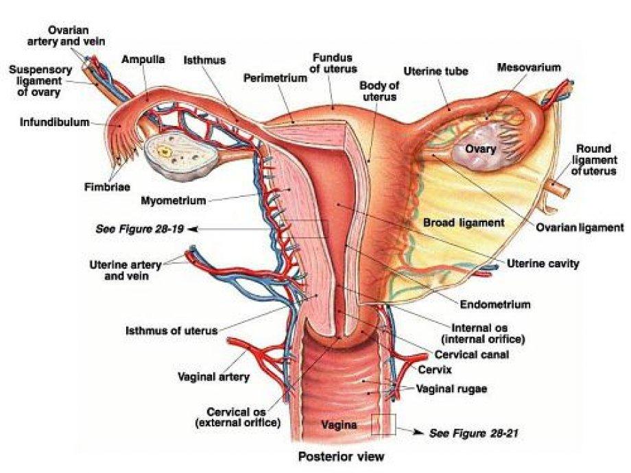 Kadın Hastalıkları - Jinekoloji